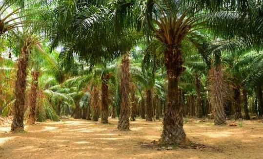 Keuntungan Menggunakan Minyak Kelapa Sawit Di Indonesia
