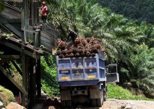 Langkah Berkembangnya Minyak Sawit  Terbesar Di Indonesia